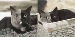 Sở hữu khuôn mặt hai màu lông hiếm gặp, cô mèo bỗng trở thành hiện tượng MXH