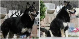 Chú chó trung thành canh giữ mộ chủ nhân suốt 10 năm trời, đến khi chết vẫn không rời nửa bước