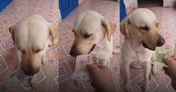 Chú chó từng gây sốt vì biết làm toán nay đã có 'chiêu' mới: chỉ nhận lì xì 500.000đ