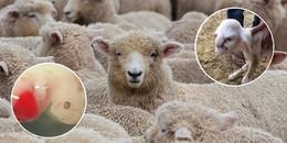 Con lai đầu tiên giữa người và cừu: Liệu có chỉ dừng lại ở phục vụ ghép tạng?