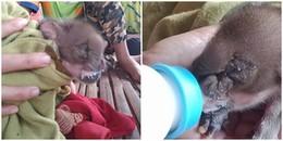 Kì lạ chú lợn con sinh ra với chiếc 'vòi voi' ở trên mặt, tất cả dân làng đều vây quanh chăm sóc