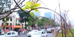 """Mặc """"bão dư luận"""" hàng cây phong lá đỏ đầu tiên tại Hà Nội đã bắt đầu ra những mầm lộc biếc"""