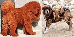 """Bị kịch cuộc đời của giống chó ngao Tây Tạng, từ """"thần khuyển"""" bị thất sủng thành con thú hoang"""