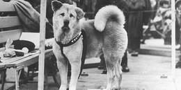 10 năm đợi chủ trong vô vọng, lòng trung thành của chú chó bỗng hóa huyền thoại nước Nhật