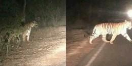 Dân mạng bức xúc khi biết sự thật về chuyện hổ rừng 'xổng' ra đường quốc lộ