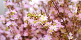 Thú vị với cảnh 10.000 cành hoa anh đào đua nhau nở giữa Hà Nội dù đã hết Tết