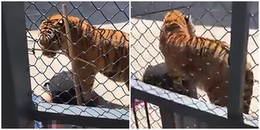 Kinh hoàng cảnh tượng nhân viên sở thú bị chính chú hổ mình nuôi dưỡng từ nhỏ ăn thịt