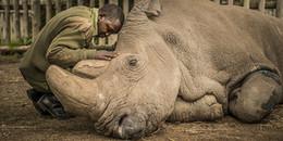 Hình ảnh cảm động về người kiểm lâm ngồi gục bên thi thể của chú tê giác trắng đực Bắc Phi cuối cùng