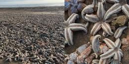 Cảnh tượng gây sốc: Hàng ngàn con sao biển chết và phủ kín bãi biển sau cơn bão Emma