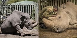 Nhói lòng hình ảnh chú tê giác trắng cuối cùng được an ủi vỗ về trước khi chết