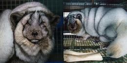 'Ăn để chết': đằng sau hình ảnh chú cáo tuyết mũm mĩm là cái kết đầy đau đớn