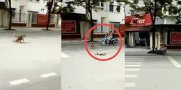 Chó con thả rông bị tai nạn, chó mẹ liều mình chặn đầu xe người đi đường để cầu cứu