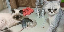 Ba chú mèo bất lực nhìn con chuột ngang nhiên dành thức ăn trước mặt mình