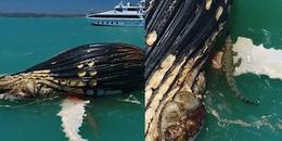 Cư dân mạng hãi hùng trước cảnh tượng con cá voi khổng lồ bị bầy cá mập và cá sấu xé xác giữa biển