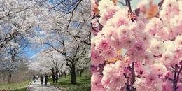 Nhanh chân đến Hàn Quốc để ngắm trọn lễ hội hoa anh đào đang đúng mùa nở rộ