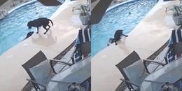 Khoảnh khắc tuyệt vời chú chó anh hùng cứu bạn khỏi hồ bơi