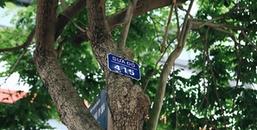 Hà Nội: Ngắm hàng cây sưa đỏ lần cuối, trước khi bị di dời để thi công ga ngầm đường sắt đô thị