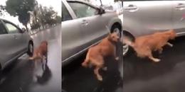 CĐM phẫn nộ trước hình ảnh chú chó bị chủ kéo đi dưới mưa đến kiệt sức vì lí do không tưởng