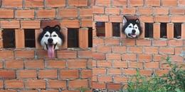 Con sen khóc ròng vì phải đập tường giải cứu 'thánh ngáo' Husky khiến CĐM cười sấp mặt
