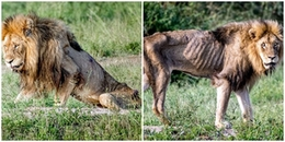 Những ngày cuối cùng của cuộc đời, chú sư tử từng được mệnh danh là 'vua' bị bỏ đói đến trơ xương