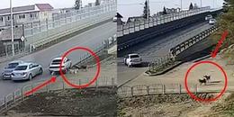 Clip hai chú chó dành cả thanh xuân hóng 'biến' tai nạn giao thông khiến dân mạng cười rớt hàm