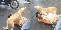 Clip chú chó cố gắng bảo vệ chủ nhân nằm giữa đường khiến CĐM không khỏi xúc động
