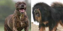 10 loại chó bảo vệ khiến nhiều người không dám chạm trán vì độ đáng sợ của chúng