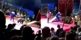 Kinh hoàng cảnh gấu trong rạp xiếc tấn công người huấn luyện ngay trên sân khấu