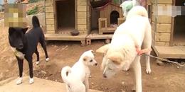 Câu chuyện 2 chú chó lớn chăm sóc cún con đi lạc, giúp tìm bố mẹ đẻ khiến CĐM cảm động