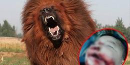 Hà Nội: Bị chó ngao Tây Tạng tấn công, bé gái 8 tuổi tử vong thương tâm