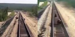 CĐM xót xa rơi lệ trước cảnh tượng gấu mẹ bị tàu hỏa cán chết trên đường ray khi cố bảo vệ 2 gấu con