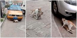 Cảm động cảnh tượng chú mèo nhỏ tha xác bạn từ ngoài đường vào nơi an toàn giữa dòng người tấp nập