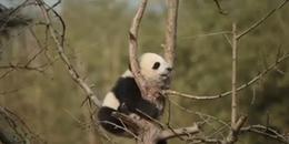 Clip: Bị mắc kẹt, gấu trúc con vô tư ngủ luôn trên cây cho quên sự đời
