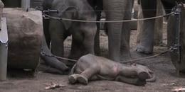 Video: Không thể 'mẹ tròn con vuông', voi mẹ đau đớn rơi nước mắt, cả đàn cúi đầu thương tiếc