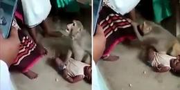 Khỉ táo tợn đột nhập vào nhà để... bắt cóc trẻ con!