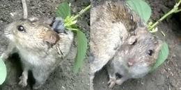 Kỳ lạ chú chuột mọc cây từ trên lưng, ai cũng tò mò đợi ngày nó đơm hoa kết trái