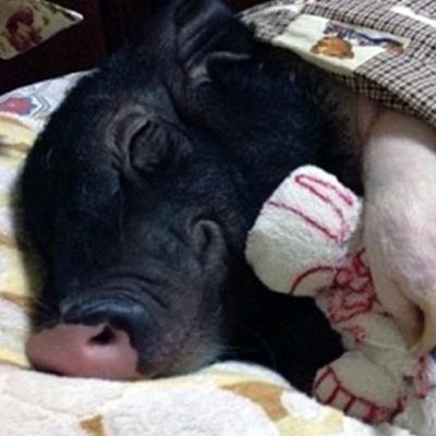 Chú lợn may mắn nhất MXH: Mua về để thịt thì có bầu, bỗng dưng biến thành...