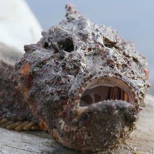 Cá mặt quỷ: mang hình hài xấu xí nhưng lại là sát thủ nọc độc dưới đại dương