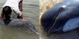 Thả cá heo mắc cạn về biển: Tưởng cứu sống hóa ra lại đẩy chúng vào chỗ chết