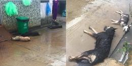 Chó cả xóm bị đánh bả chết trong đêm, CDM phẫn nộ: 'Làm thế có còn là người nữa hay không?'