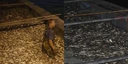 Hà Nội: Cá hồ Tây lại chết nổi trắng mặt hồ, công nhân thức xuyên đêm bì bõm vớt
