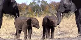 Đau lòng chú voi con mất vòi nghi do bẫy: 'Động vật còn biết tương trợ nhau, loài người thì...'