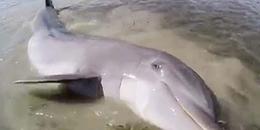 Save da 'Boss': Hồi hộp theo dõi ngư dân giải cứu chú cá heo mắc cạn vô cùng kịch tính