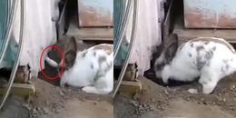 Save da 'Boss': phát hiện cánh tay lạ và hành động nghĩa hiệp của chú thỏ Chasky