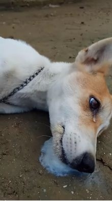 Dog died of cruel poisoning, shed tears before it passed away