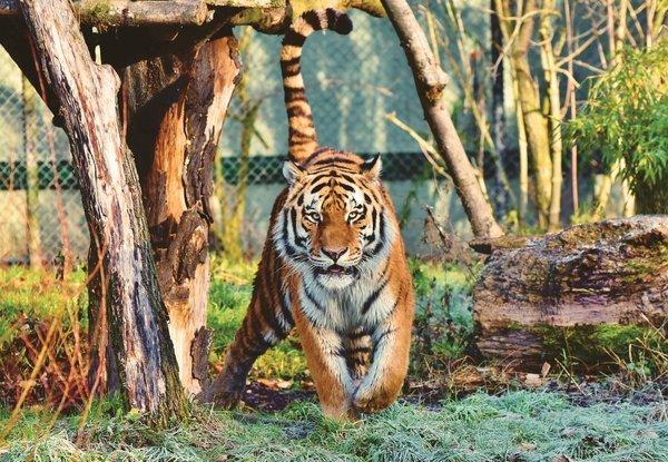 chụp ảnh động vật, con hổ, con mèo to