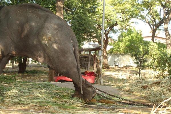 Chú voi bị trói, cưa sừng và bỏ mặc đến chết vì hết giá trị lợi dụng