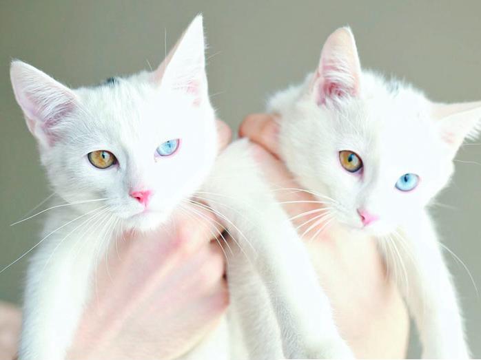 """Cặp đôi mèo song sinh giống nhau đến không ngờ, đôi mắt """"một vàng một bên xanh""""khác lạcủa hai """"ẻm"""", khiến chúng càng trở nên đặc biệt. Có ai muốn sở hữu một cặp mèo như này không nào? (Ảnh: Instagram)"""