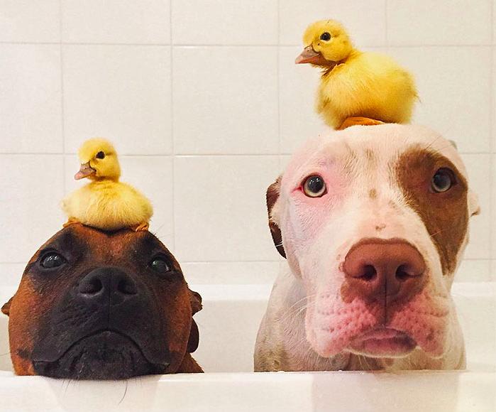 Có ai nghĩ rằng chó lại có thể có bạn là vịt không?Đây là minh chứng cho một điều rằng đã là bạn bè thì sẽ chấp nhận tất cảsự khác biệt về hình dạng và kích thước của nhau đấy nhé! (Ảnh: Instagram)