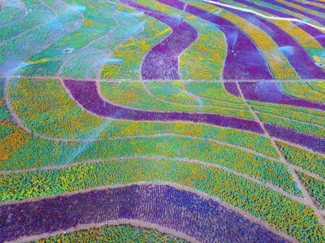 Biển hoa nhiều màu sắc tạo nên bức tranh sống động tại huyện Húng An, tỉnh Quý Châu.